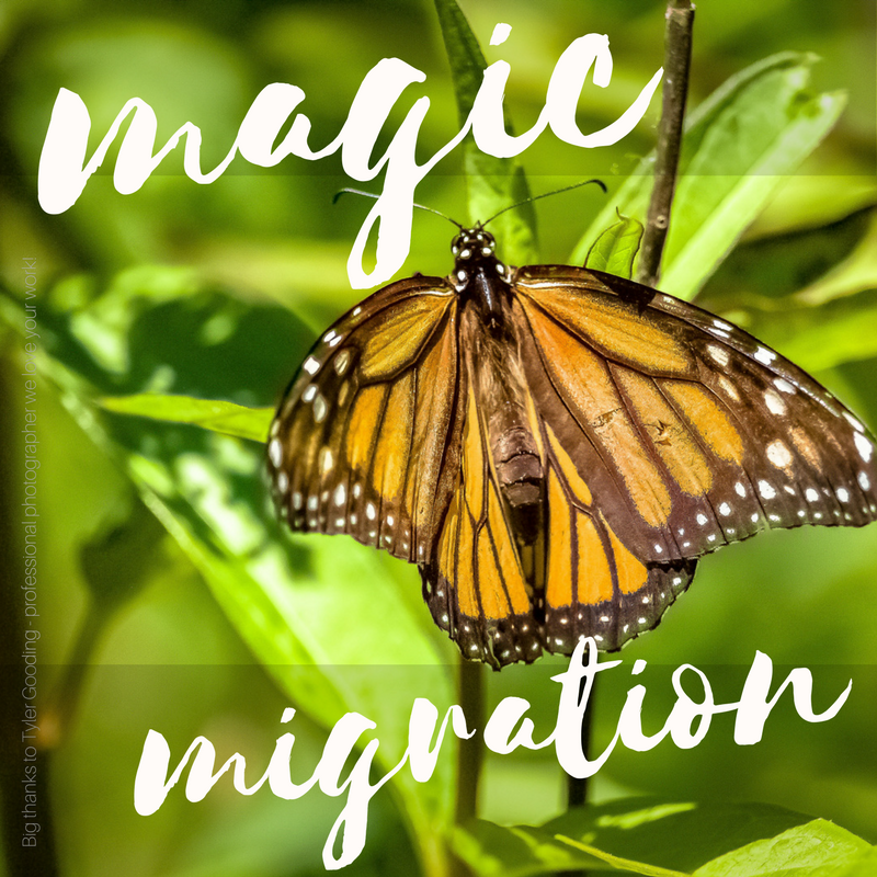 monarch migration mexico